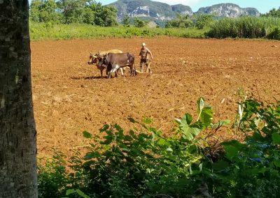 Cuban Farming